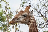 Close-up of giraffe browsing green leaves