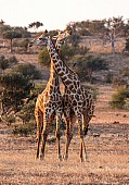 Young Male Giraffes Necking Affectionately