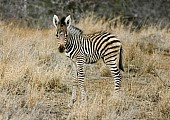 Zebra Foal Looking at Camera