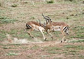Impala Males Fighting