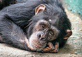 Chimpanzee Lying with Head on Hand
