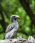 African Grey Hornbill Female
