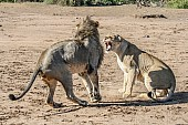 Lioness Growling at Male After Mating