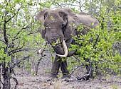 Elephant Bull in Mopane Woodland